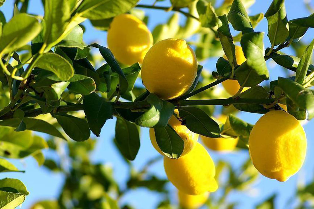 limoni.-principalejpg.jpg