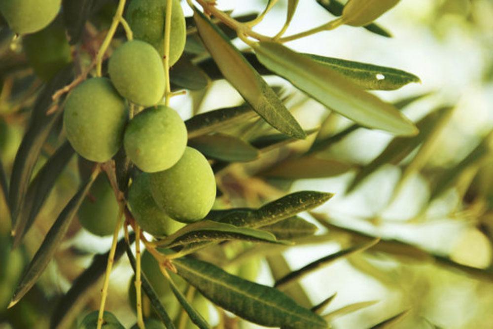 olive-principale.jpg